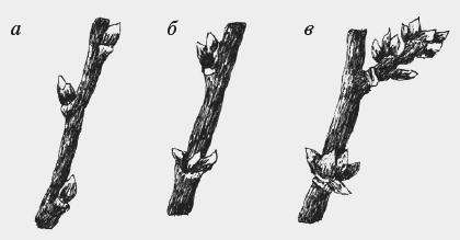 Сад: Как сформировать сливу
