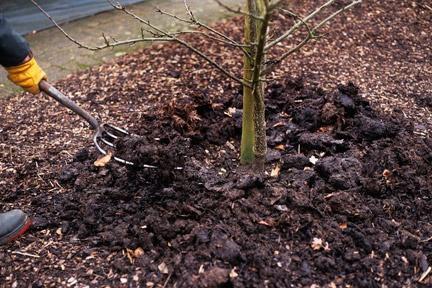 Сад: Чем и как подкармливать сливу