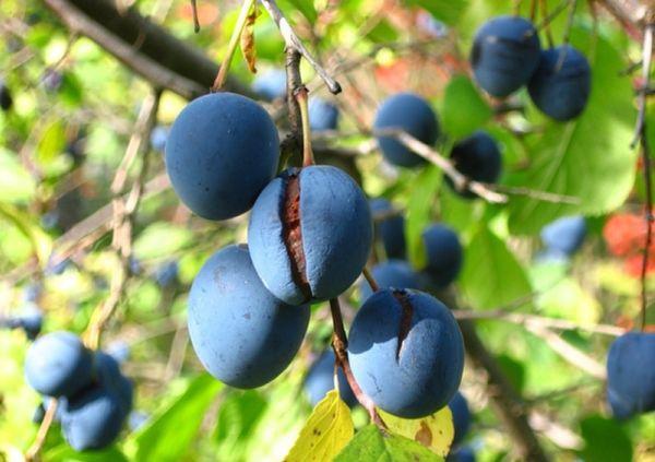 Сад: слива плохо плодоносит