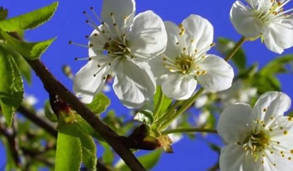 Сад: цветение сливы