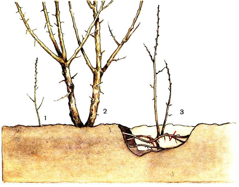 Сад: Как размножить сливу