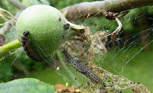 Сад: паразиты