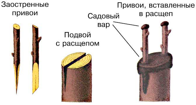 Сад: прививка вращеп