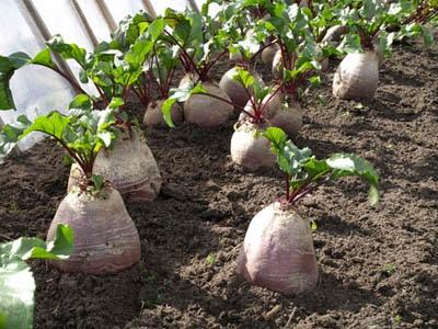 Огород: выращивание кормовой свеклы