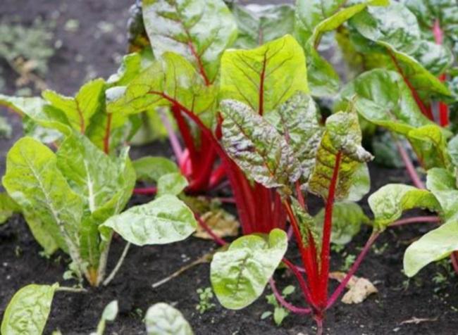 Огород: прореживание свеклы