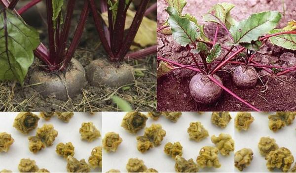 Огород: выращивание свеклы