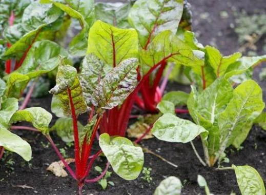 Огород: почва для свеклы