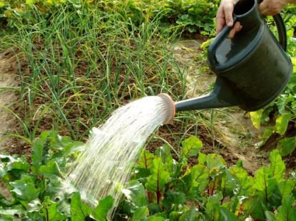 Огород: полив свеклы