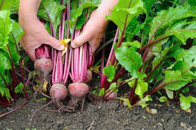 Огород: Как вырастить хороший урожай свеклы