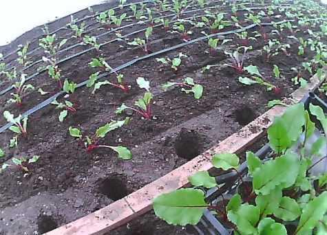 Огород: высадка свеклы