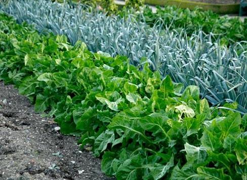 Огород: совместная посадка
