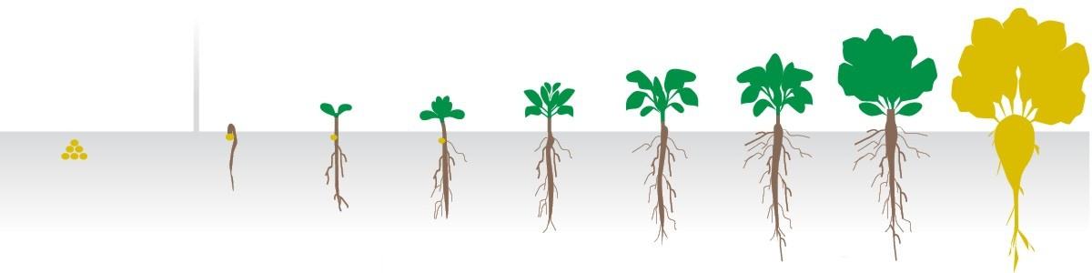 Огород: рост свеклы