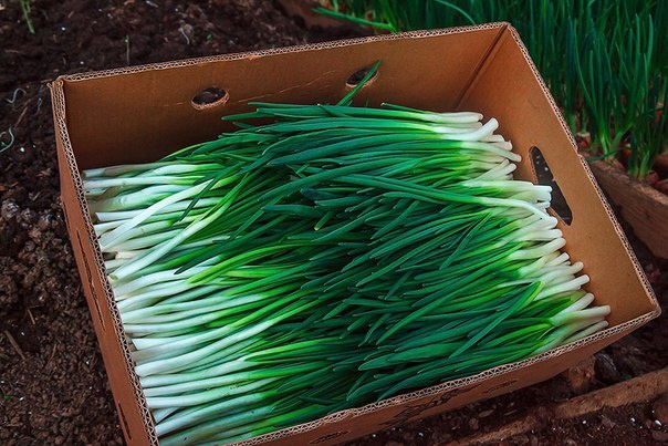 Огород: Блог дачника. Natalya: зеленый лук