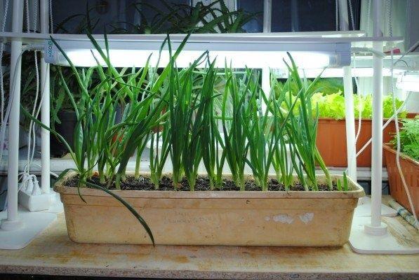 Огород: Блог дачника. Natalya: досвечивание зеленого лука