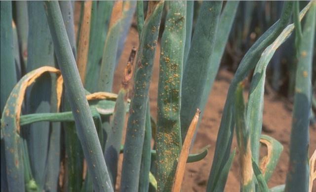 Огород: луковая ржавчина