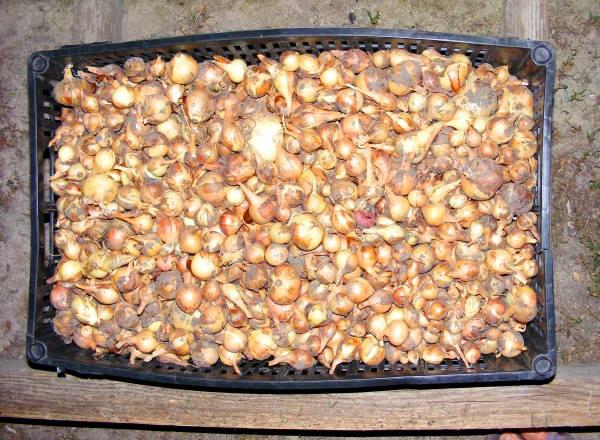 Огород: лук севок