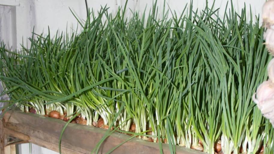 Огород: перо лука