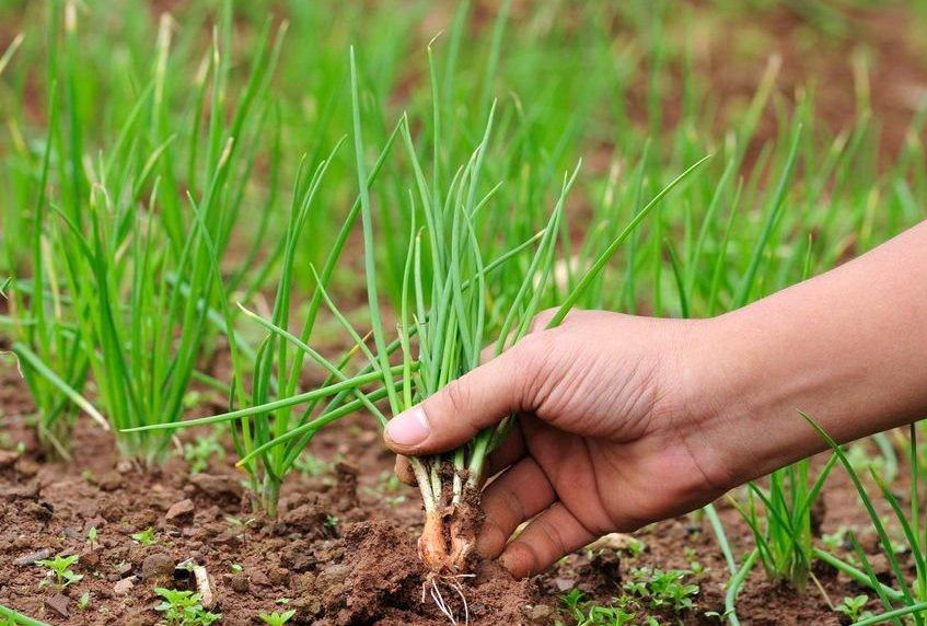Огород: собираем лук