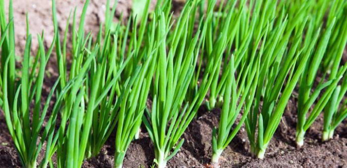 Огород: лук