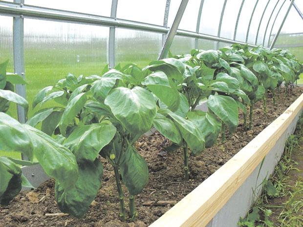 Огород: перец в теплице