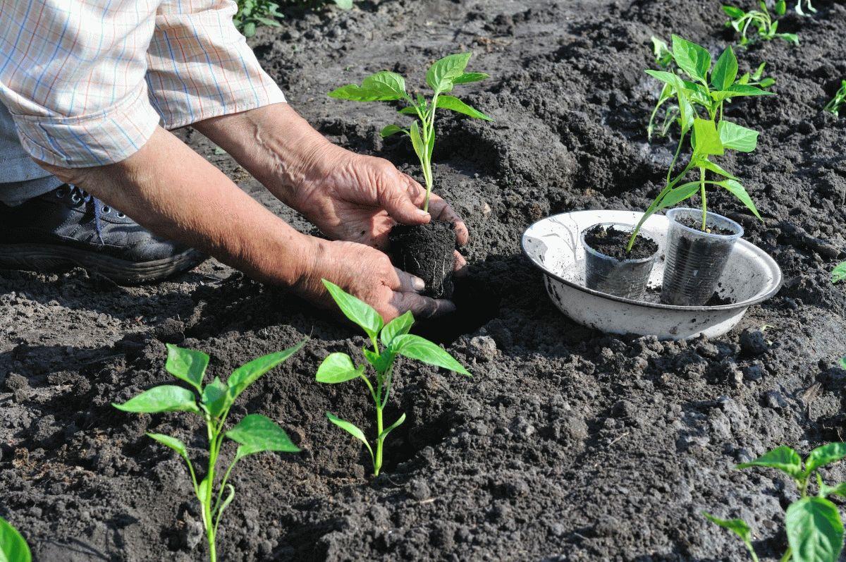 Огород: высадка перца