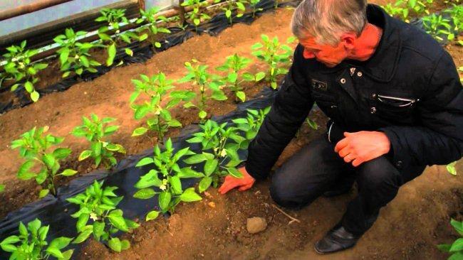 Огород: подкормка перца