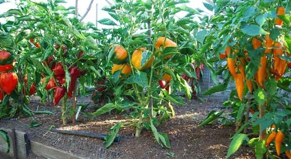 Огород: болгарский перец