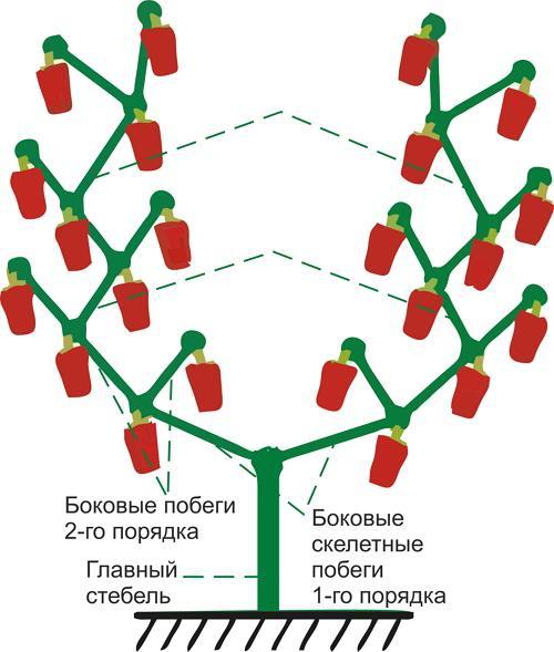 Огород: формирование перца