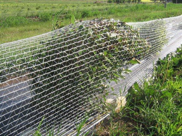 Огород: защита свеклы