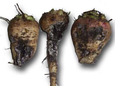Огород: черная ножка