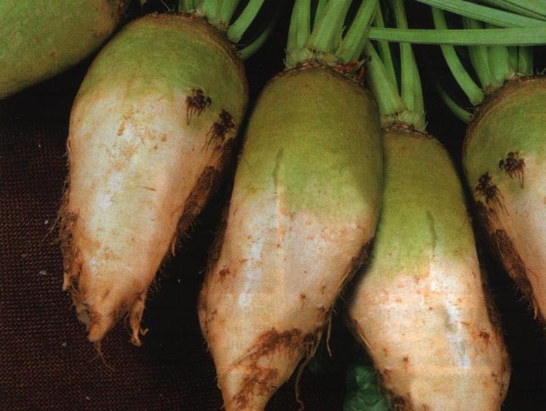 Огород: форма кормовой свеклы