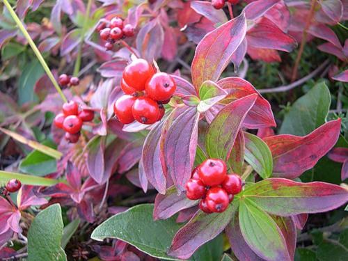 Декоративные растения: кизил