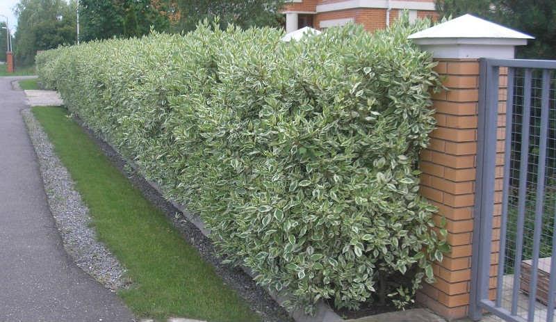 Декоративные растения: изгородь из дерена