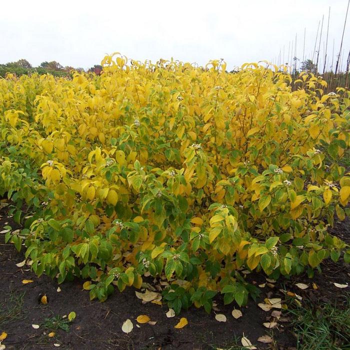Декоративные растения: дерен желтеет