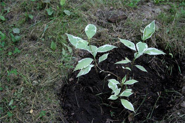 Декоративные растения: черенки дерена
