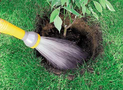 Декоративные растения: полив дерена