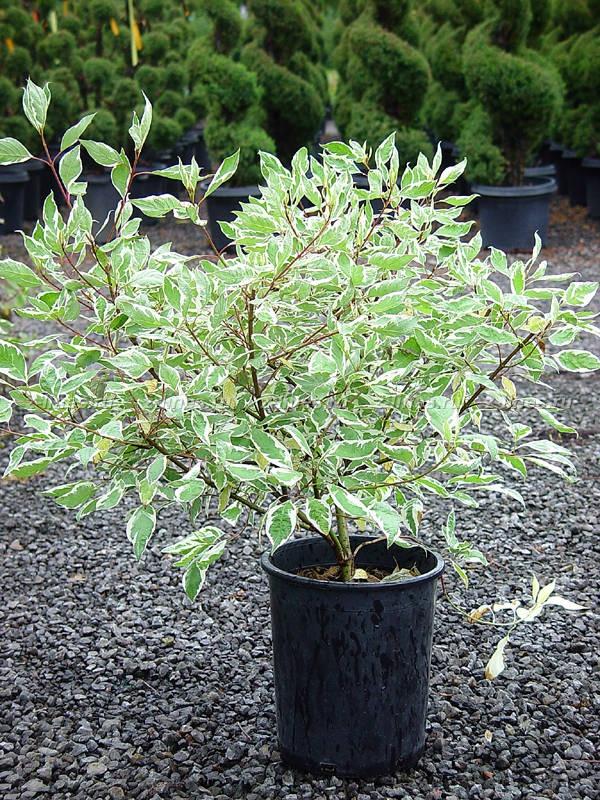 Декоративные растения: пересадка дерена
