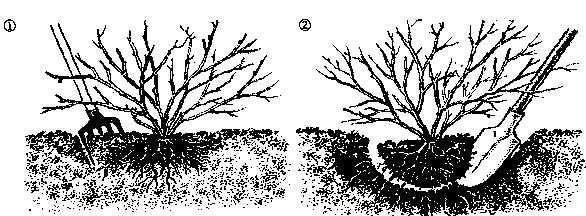 Декоративные растения: дерен пересадка