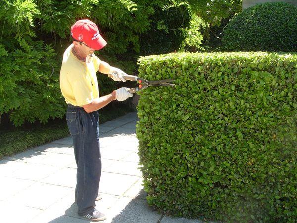 Декоративные растения: стрижка дерена