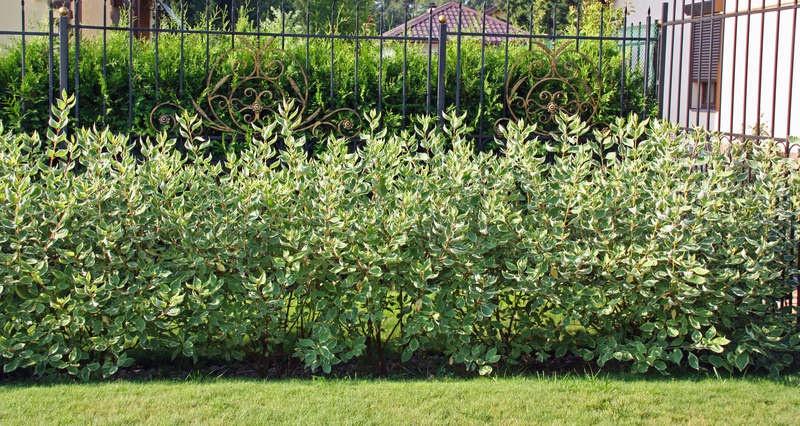 Декоративные растения: изгородь