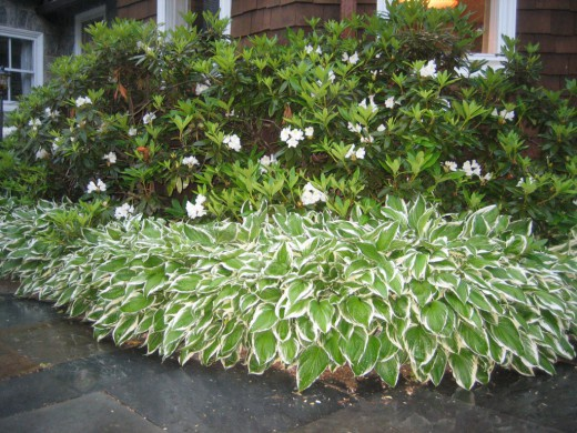 Декоративные растения: дерен пестролистный