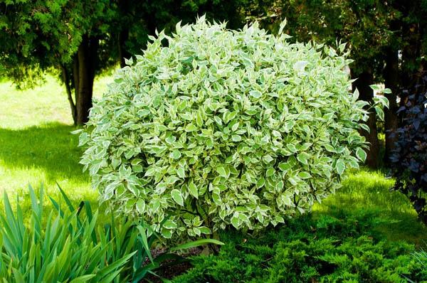Декоративные растения: дерен белый