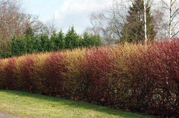 Декоративные растения: изгородь зимой