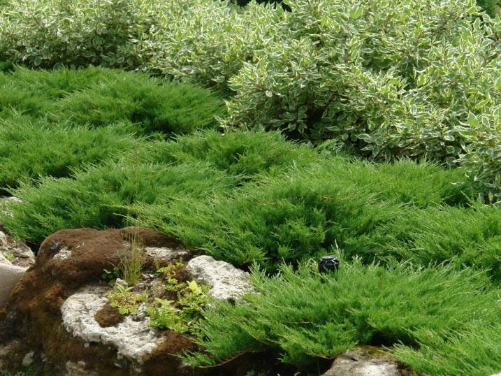 Декоративные растения: дерен с хвойными