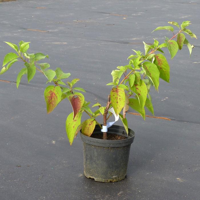 Декоративные растения: болезни дерена
