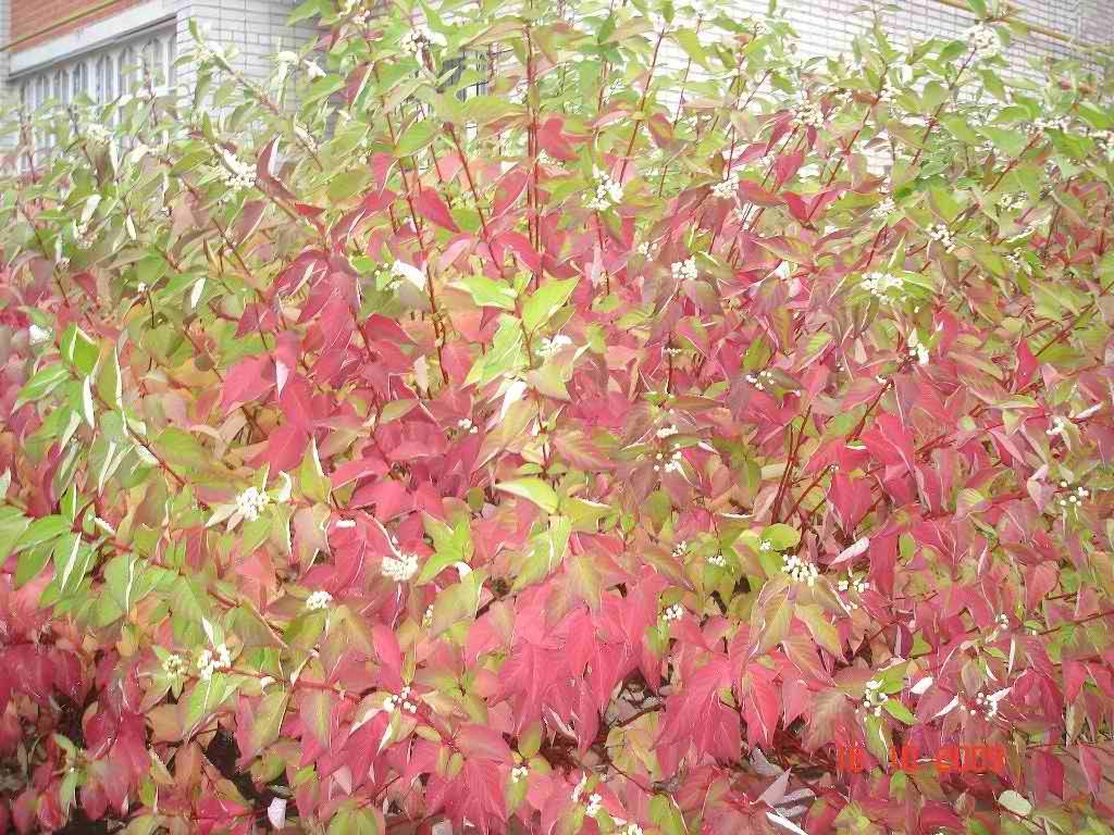 Декоративные растения: дерен аргентеомаргината