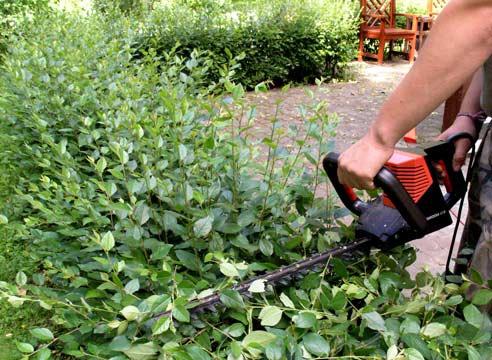 Декоративные растения: обрезка живой изгороди