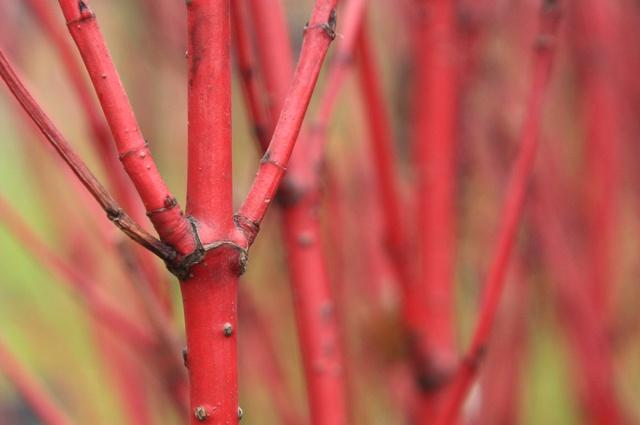 Декоративные растения: кора дерена