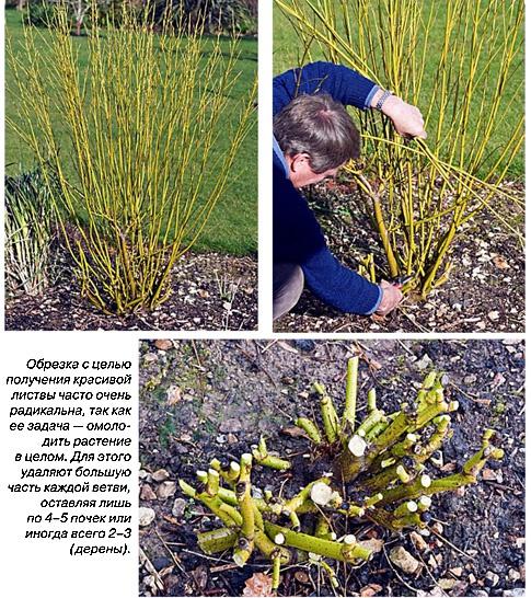 Декоративные растения: обрезка дерена