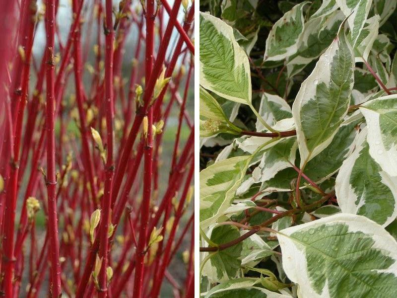 Декоративные растения: листья дерена